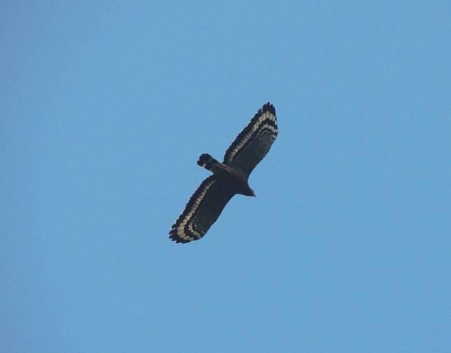 大冠鷲展翅時,白色橫帶是其重要特徵。